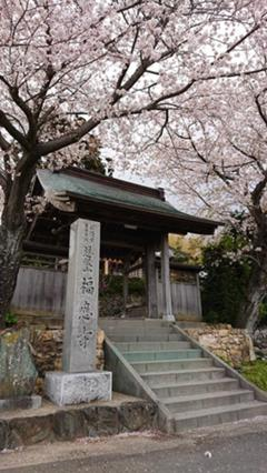 福応寺の桜がいよいよ満開