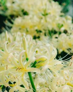 白い彼岸花が満開です