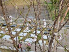 福応寺の桜も咲き始めました