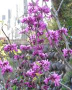 福応寺の「桜」